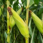 central-province-headed-for-maize-bumper-harvest