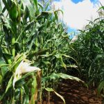 zambia-in-record-maize,-soya-bumper-harvest