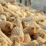 chief-pembamoyo-happy-with-bumper-harvest